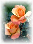 Roses Framed Prints - Tea for two Framed Print by Carol Sweetwood