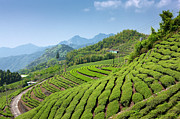 Tea Tree Prints - Tea Garden Of Alishan Print by IMAGEMORE Co, Ltd.
