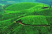 Vinod Nair - Tea Garden