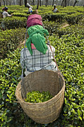 Asian Workers Framed Prints - Tea Picker Framed Print by Tony Camacho
