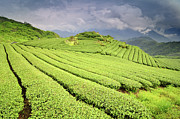 Plantation Photos - Tea Plantation by Joyoyo Chen