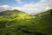 Malaysia Photos - Tea Plantation by Ng Hock How