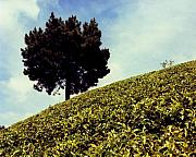 Tropical Photographs Photos - Tea Plantations by Mario Bennet
