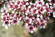 Tea Tree Prints - Tea Tree (leptospermum Scoparium) Print by Dr Keith Wheeler