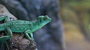 Alertness Photos - Teal Lizard by Photography by Zack Podratz