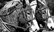 Horses In Harness Prints - Teamwork in the Fields Print by Laurel Sherman
