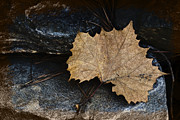 Autumn Leaf On Water Prints - Tears To Fall Print by Kelly Rader