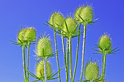 Brown Seeds Originals - Teasel inflorescences by Volodymyr Chaban