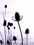 Gareth Davies Prints - Teasels in a French Field  I Print by Gareth Davies