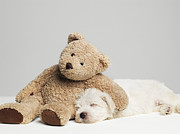 Toy Animals Prints - Teddy Bear Resting On Sleeping West Highland Terrier Puppy, Studio Shot Print by Roger Wright