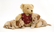 Domestic Animal Photos - Teddy Bear With Puppies by Jane Burton