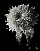 Flower Photos Posters - Teddy Sunflower in Black and White Poster by Endre Balogh