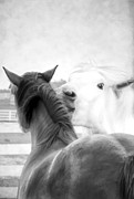Foal Framed Prints - Telling Secrets in Black and White Framed Print by Darren Fisher