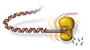 Nucleic Acid Prints - Telomere And Telomerase, Artwork Print by Art For Science