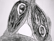 Tem Prints - Tem Of Chloroplasts Print by Dr Jeremy Burgess
