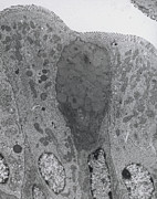 Goblet Photo Posters - Tem Of Goblet And Secretory Cells In Duodenum Poster by Steve Gschmeissner