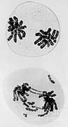 Tem Of Radiation Damage To Chromosomes Print by Omikron