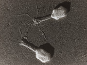Virology Prints - Tem Of T4 Bacteriophage Print by M. Wurtzbiozentrum, University Of Basel .