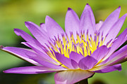 Waterlily Art - Tender Lily by Melanie Moraga