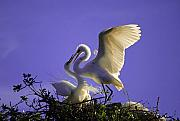 Great Egret Framed Prints - Tender Love Framed Print by Kenneth Albin