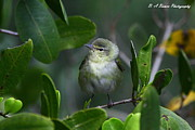 Pasco County Prints - Tennessee Warbler Print by Barbara Bowen