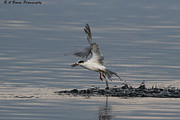 Tern Originals - Tern emerging with fish by Barbara Bowen