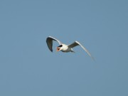 Tern Metal Prints - Tern Flight 02 Metal Print by Al Powell Photography USA