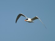 Tern Framed Prints - Tern Flight Framed Print by Al Powell Photography USA