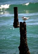 Tern Photos - Tern Gulfstream Florida by Michelle Wiarda