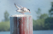 Wings Artwork Mixed Media Prints - Tern Ready to Fly Print by Elaine Manley