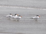Tern Photos - Terns Wading by Al Powell Photography USA