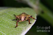 Terrestrial Turtle Bug Print by Ted Kinsman