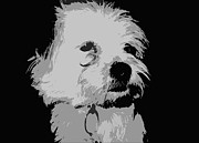 Maltese Photos - Terrier Poster by Reb Frost