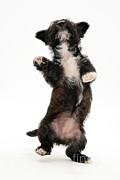 Jane Burton - Terrier Pup Dancing
