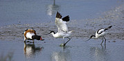 Feeding Birds Prints - Territorial Pied Avocets Print by Duncan Shaw