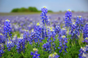 Texas Art - Texas Blue - Texas Bluebonnet wildflowers landscape flowers  by Jon Holiday
