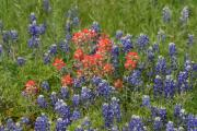 Blue Bonnets Posters - Texas Blue Bonnets and Indian Paint Brush Poster by Linda Phelps
