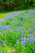 Fredricksburg Prints - Texas Blue Bonnets Print by Michael Flood