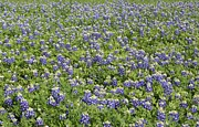 Rod Andress - Texas Blue Bonnets