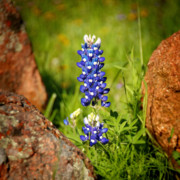 Floral Art Photos - Texas Bluebonnet by Jon Holiday