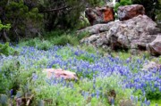Ron Stephens - Texas Bluebonnets