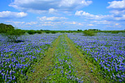 Will Cardoso Metal Prints - Texas Bluebonnets Metal Print by Will Cardoso