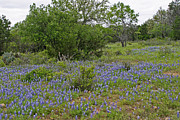 Blue Bonnets Prints - Texas Hill Country Blue Bonnets Print by Linda Phelps
