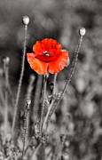 Texas Hot Poppy With Black And White Print by Linda Phelps