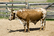 Longhorn Photos - Texas Longhorn by Cristina Lichti