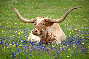 Blue Flowers Posters - Texas Longhorn in Bluebonnets Poster by Jon Holiday