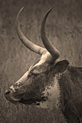 Longhorn Photos - Texas Longhorn by Paul Huchton
