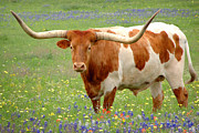Texas Longhorn Photos - Texas Longhorn Standing in Bluebonnets by Jon Holiday