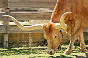 Grazing Posters - Texas Longhorns - A genetic gold mine Poster by Christine Till
