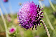 Texas Wild Flowers Prints - Texas Thistle Print by Mark Weaver